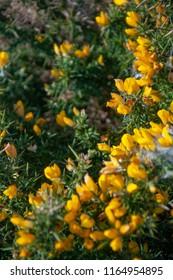 Flowering Gorse blooming