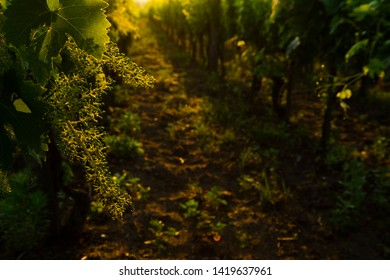 flowering grape vines on way to change berry