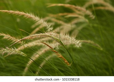Flowering grass with blurry background, mission grass, feather pennisetum