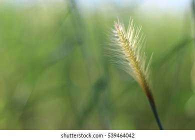 Flowering grass, mission grass, view beautiful, Feather pennisetum or mission grass with pale sky.