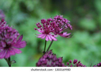 Flowering great masterwort (astrantia major)