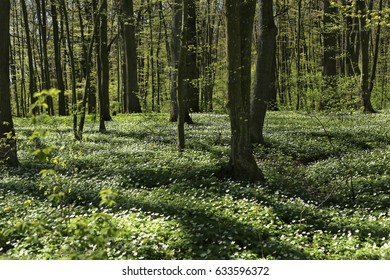 Flowering green forest in spring. Spring awakening of flowers and vegetation in the forest.