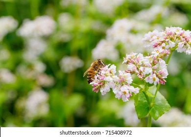 Flowering growing buckwheat plant in agricultural field.  Buckwheat Flower is attracting pollinators such as honey bees or bumblebee