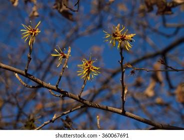 Flowering Hamamelis mollis