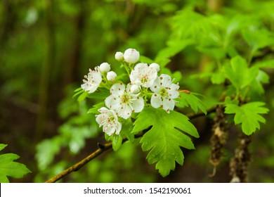 flowering hawthorn , blooming spring flowers