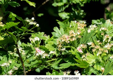 Flowering hawthorn. Flowers and leaves of whitethorn (Crataegus)