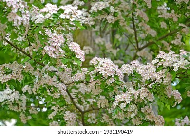 Flowering hawthorn is single-penned (Crataegus monogyna Jacq.). Branches with flowers