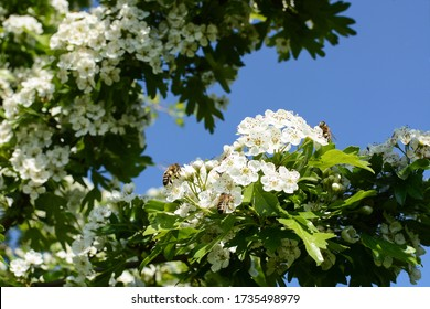 Flowering hawthorn tree with white small flowers and green leaves on branch and many bees collecting nectar