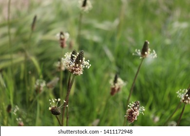 The flowering heads of ribwort plantain, plantago lanceolata. Several inflorescences in the grass. Ribwort plantain is also a traditional medicinal plant.