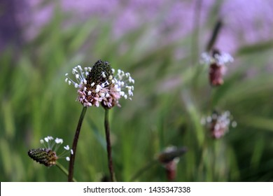 The flowering heads of ribwort plantain, plantago lanceolata. Several inflorescences in the grass. Ribwort plantain is also a traditional medicinal plant. Plantago lanceolata has bactericidal.
