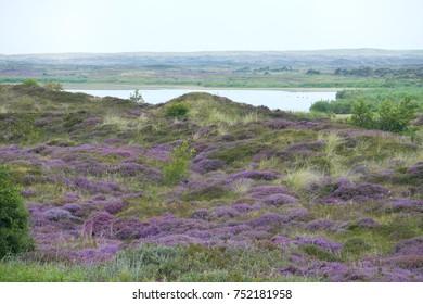 Flowering heath at island Texel, The Netherlands