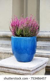 flowering heather in a blue ceramic pot