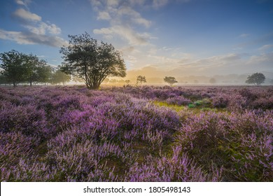 Flowering heather fields and foggy conditions at Sunrise in The Netherlands