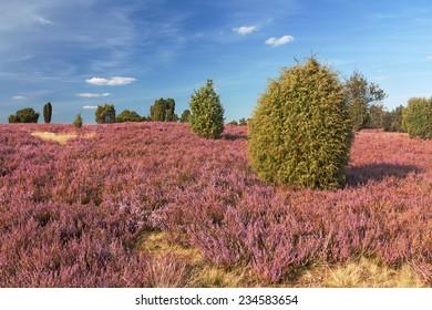 Flowering heathland with juniper near Wilsede in the Lueneburg Heath, Lower Saxony, Germany