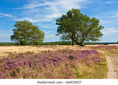 Flowering heathland with oaks and path in the Lueneburg Heath (Lueneburger Heide) in Lower Saxony, Germany