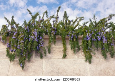 Flowering herb of rosemary ( Rosmarinus officinalis ) against the blue sky