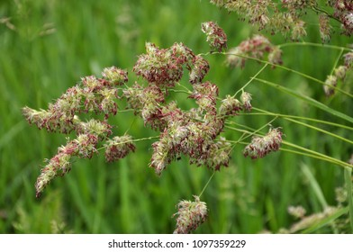 Flowering herbs Dactylis glomerata valuable forage culture for livestock breeding
