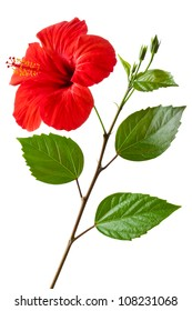 Flowering Hibiscus. Isolated on a white.