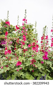 Flowering Hollyhocks in Perennial garden
