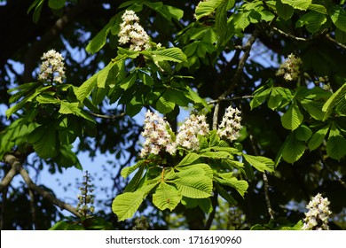 Flowering horse-chestnut or conker tree (Aesculus hippocastanum) of the soapberry family (Sapindaceae) in spring in the Dutch village of Bergen. Bergen, Netherlands, April 27, 2020.