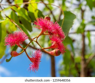 Flowering inflorescence of Corymbia ptychocarpa known as Swamp Bloodwood in Australia