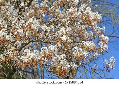 Flowering Irga Canadian (Amelanchier canadensis). Spring