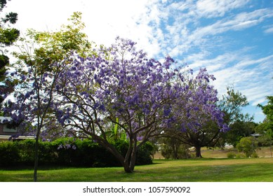 Flowering jacaranda trees