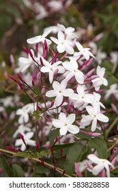 flowering jasmine background with open white flowers and dark pink buds