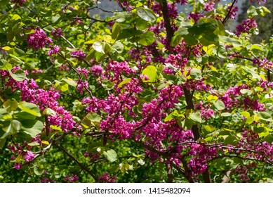 Flowering Judas tree in a park