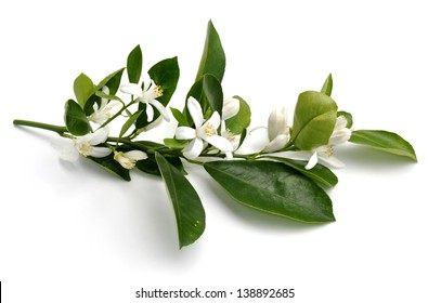 Flowering kumquat branch on white background