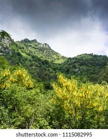 Flowering of Laburnum in the Italian Alps