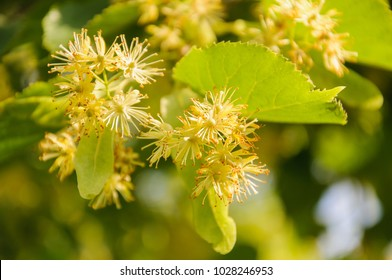 Flowering large-leaf Linden (Tilia). The branches are covered with yellow flowers. Medicinal plant