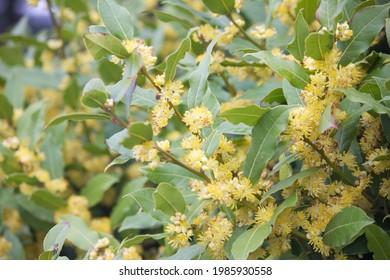 Flowering laurel shrub. Yellow flowers and bay leaf