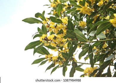 Flowering Laurus nobilis plant, branches with yellow flowers, Laurus azorica