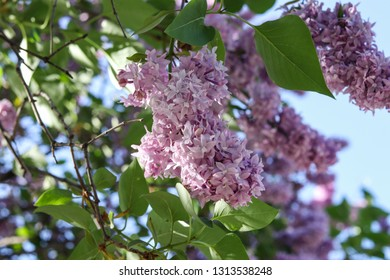 Flowering lilac bushes, spring vibes