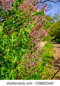 Flowering lilac shrub - Syringa vulgaris - on the side of the pathway with a stone wall