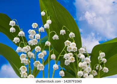 Flowering lily of the valley detail. Convallaria majalis. Scented wild herb. Romantic spring flowers. May bells with green leaves on blue sky background. Beautiful white blooms. Poisonous wildflower.