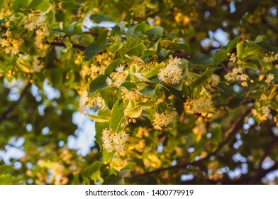 flowering linden tree with beautiful yellow flowers close-up against a blue sky