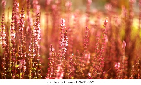 flowering lupines at sunset. Wonderful sunset. fantastic colorful landscape with blue and pink lupine flowers.