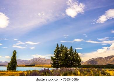 The flowering lupins at Lake Tekapo