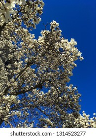 Flowering Magnolia tree in Boston in Spring
