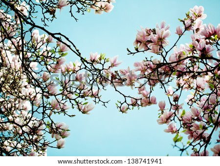 Flowering magnolia tree densely covered beautiful stock photo edit flowering magnolia tree densely covered with beautiful fresh pink flowers in spring mightylinksfo