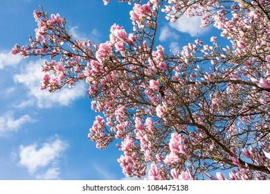 Flowering Magnolia tree during spring in Norrkoping, Sweden