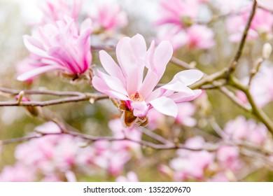 Leonard Messel Magnolia Tree Images Stock Photos Vectors