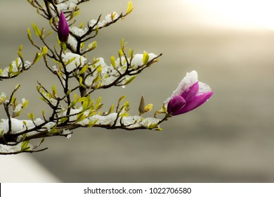 Flowering magnolia tree with snow
