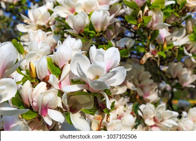 Flowering Magnolia Tulip Tree. Chinese Magnolia x soulangeana ( Magnoliaceae ) blossom  with tulip-shaped flowers. Hybrid of Magnolia denudata and liliiflora