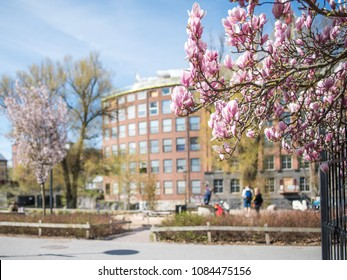 Flowering Magnolia in waterfront park Stromparken in the center of Norrkoping. Norrkoping is a historic industrial town in Sweden.