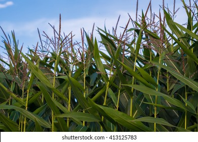 Flowering maize grown for production of bioethanol
