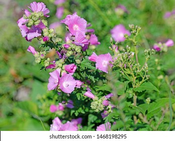 Flowering mallow, Malva, in the wilderness