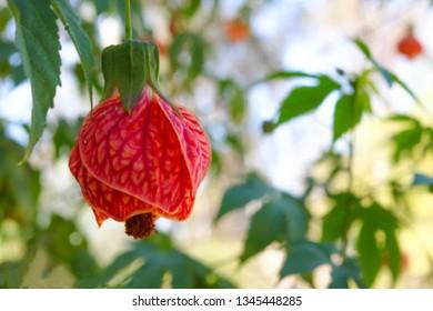 Flowering Maple - Biltmore Ballgown lantern type flowering shrub